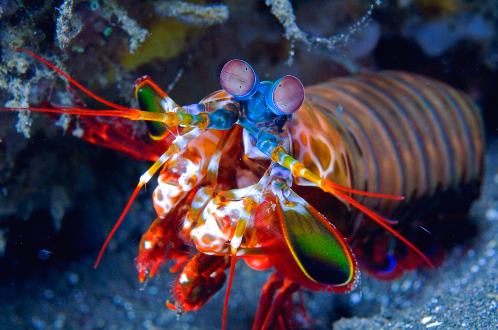 Mantis-Shrimp.jpg